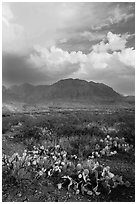 Cactus, Chisos Mountains, and clearing storm. Big Bend National Park ( black and white)