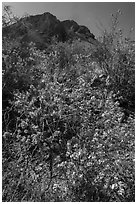 Siverleaf with purple flowers. Big Bend National Park, Texas, USA. (black and white)