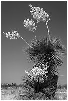 Yucca in bloom. Big Bend National Park, Texas, USA. (black and white)