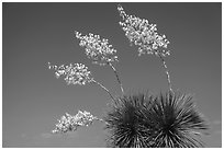 Cluster of yucca blooms. Big Bend National Park, Texas, USA. (black and white)