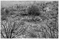Deer in desert landscape. Carlsbad Caverns National Park, New Mexico, USA. (black and white)