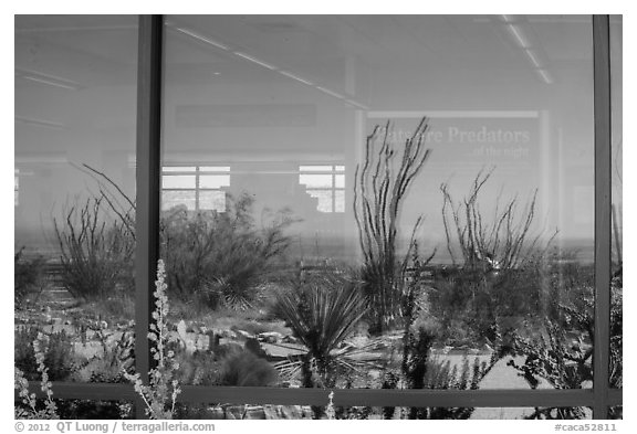 Ocotillos, yuccas and cactus, visitor center window reflexion. Carlsbad Caverns National Park, New Mexico, USA.