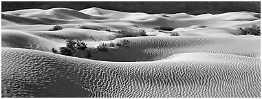 Expense of sand dunes with mesquite bushes. Death Valley National Park (Panoramic black and white)
