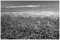 Purple Phacelia and Panamint Range, morning. Death Valley National Park ( black and white)