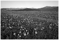 Rare desert wildflower bloom and mountains, sunset. Death Valley National Park ( black and white)