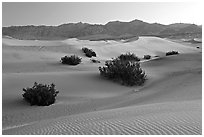 Mesquite bushes and sand dunes, dawn. Death Valley National Park, California, USA. (black and white)