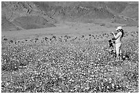 Couple videotaping and photographing in a field of Desert Gold near Ashford Mill. Death Valley National Park, California, USA. (black and white)