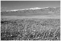 Desert Gold and snowy Panamint Range, morning. Death Valley National Park ( black and white)