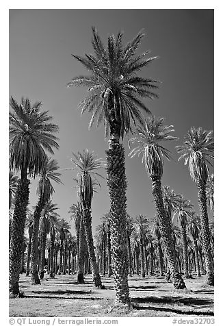 Date Palms in Furnace Creek Oasis. Death Valley National Park (black and white)
