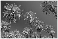 Date trees in Furnace Creek Oasis. Death Valley National Park, California, USA. (black and white)