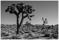 Joshua trees, Lee Flat. Death Valley National Park ( black and white)