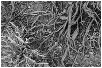 Ground close-up with bush and roots. Death Valley National Park ( black and white)