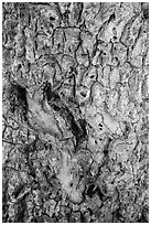 Joshua tree bark close-up. Death Valley National Park ( black and white)