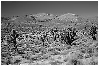 Joshua trees and Nelson Range. Death Valley National Park ( black and white)
