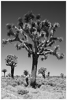 Joshua trees. Death Valley National Park ( black and white)