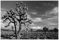Joshua Tree groves at Lee Flat. Death Valley National Park ( black and white)