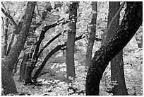 Twisted tree trunks and autumn colors, Smith Springs. Guadalupe Mountains National Park, Texas, USA. (black and white)