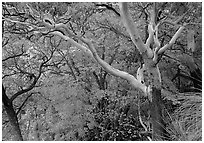 Texas Madrone Tree and autumn color, Pine Canyon. Guadalupe Mountains National Park ( black and white)