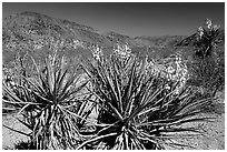 Yuccas in bloom. Joshua Tree National Park, California, USA. (black and white)