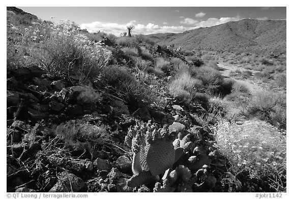 Beavertail cactus and brittlebush. Joshua Tree National Park, California, USA.