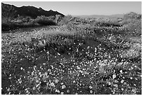 Carpet of yellow coreposis, late afternoon. Joshua Tree National Park, California, USA. (black and white)