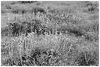 Close-up of flower carpet of Arizona Lupine, Desert Dandelion, Chia, and Brittlebush, near the Southern Entrance. Joshua Tree National Park, California, USA. (black and white)
