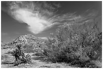 Sandy wash and palo verde in spring. Joshua Tree National Park, California, USA. (black and white)