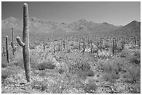 Saguaro cactus and Tucson Mountains. Saguaro National Park, Arizona, USA. (black and white)