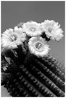 Saguaro cactus flowers against blue sky. Saguaro National Park, Arizona, USA. (black and white)