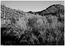 Palo Verde and saguaro cactus on hill. Saguaro National Park, Arizona, USA. (black and white)