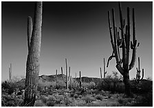 Saguaro cacti (scientific name: Carnegiea gigantea), late afternoon. Saguaro National Park, Arizona, USA. (black and white)