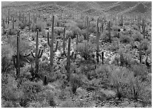 Ocatillo and saguaro cactus in valley. Saguaro  National Park ( black and white)