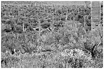 Sonoran desert in bloom, Tucson Mountain District. Saguaro National Park, Arizona, USA. (black and white)