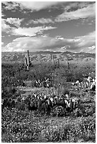 Cactus and carpet of yellow wildflowers, Rincon Mountain District. Saguaro National Park, Arizona, USA. (black and white)