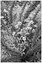 Brittlebush and ocotilo. Saguaro National Park, Arizona, USA. (black and white)