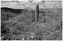 Cactus lupine, and mexican poppies with Panther Peak in the background, afternoon. Saguaro National Park, Arizona, USA. (black and white)
