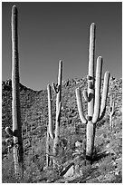 Tall saguaro cactus (scientific name: Carnegiea gigantea), Hugh Norris Trail. Saguaro National Park, Arizona, USA. (black and white)