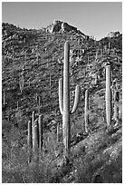 Tall saguaro cactus on the slopes of Tucson Mountains, late afternoon. Saguaro National Park, Arizona, USA. (black and white)