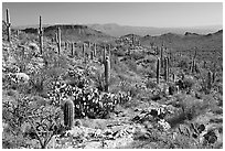 Rocks, flowers and cactus, morning. Saguaro National Park, Arizona, USA. (black and white)