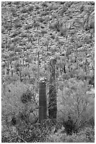 Sonoran cactus in bloom. Saguaro National Park, Arizona, USA. (black and white)