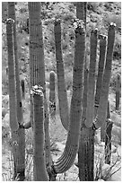 Saguarao arms topped by creamy white flowers. Saguaro National Park, Arizona, USA. (black and white)