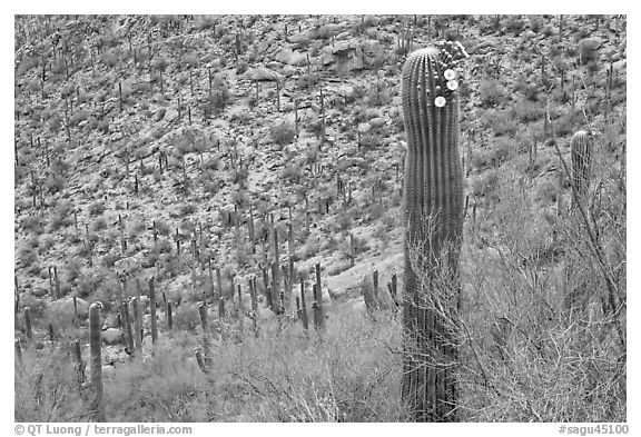 Palo Verde and saguaro with flowers. Saguaro National Park, Arizona, USA.