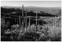 Cactus forest from Tucson Mountains. Saguaro National Park ( black and white)