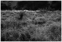 Grasses and shurbs. White Sands National Park ( black and white)
