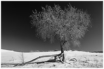 Rio Grande Cottonwood tree (Populus deltoids subspecies wizlizenii) in late autumn. White Sands National Park ( black and white)