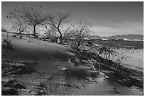 Dunes with Rio Grande Cottonwood trees. White Sands National Park ( black and white)