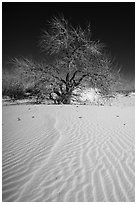 Rio Grande Cottonwood growing on sand dunes. White Sands National Park ( black and white)