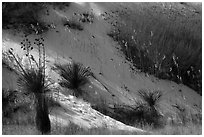 Yucca and grasses on dune flank. White Sands National Park ( black and white)
