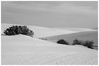 Srubs in dune field. White Sands National Park ( black and white)