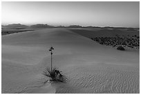 Dunes and soaptree Yucca in autumn at sunset. White Sands National Park ( black and white)